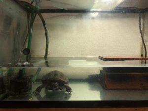 クサガメ 画像 水槽 亀 性格