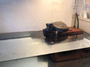 クサガメ飼育 水槽 画像 甲羅干し 陸場