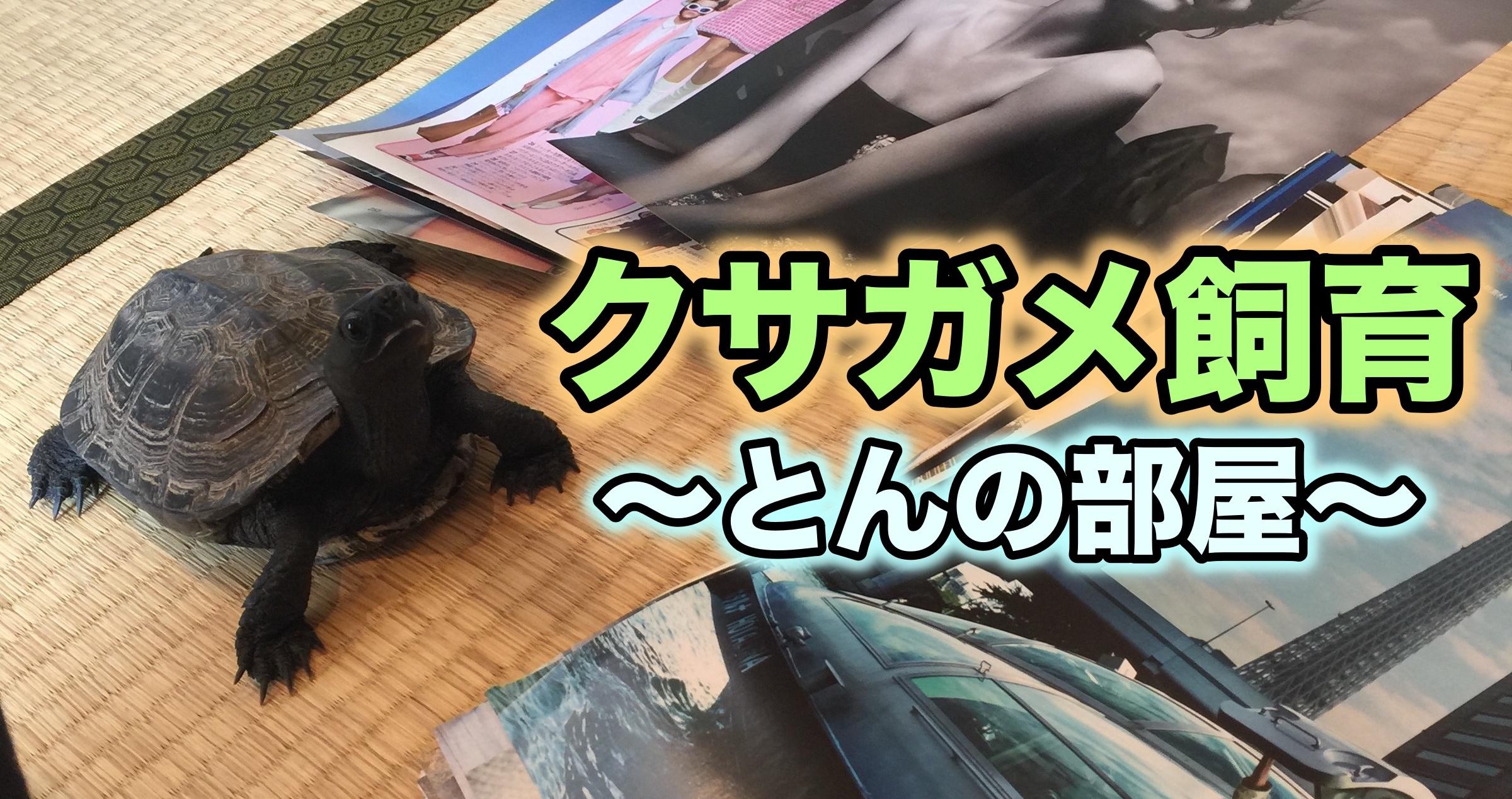 クサガメ飼育-とんの部屋- クサガメ(ゼニガメ)の飼い方ブログ
