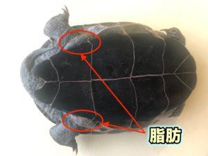 カメの脂肪と肥満 足の付け根のブヨブヨ クサガメ