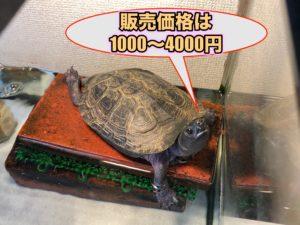 クサガメの購入価格・販売価格 子亀