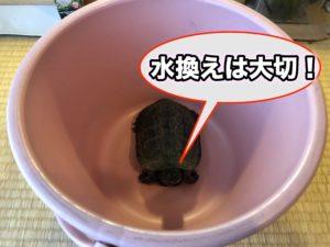 クサガメ飼育 カメが水槽で暴れる時は水換え