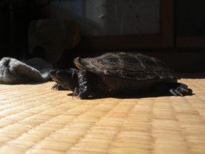 クサガメ飼育 クサガメの黒化後 7歳