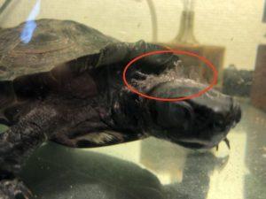 クサガメの皮膚の脱皮