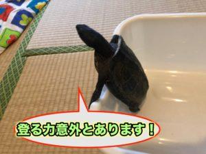 クサガメの脱走