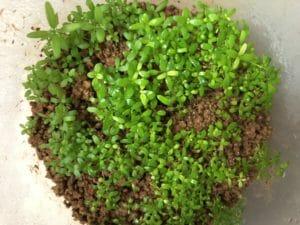 水草の種(プレミアムシード)2ヵ月