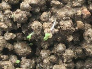 水草の種(プレミアムシード)発芽